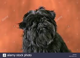 affenpinscher long hair affenpinscher portrait stock photo royalty free image 33258860
