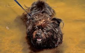 affenpinscher how much do they cost small dog breeds that don u0027t shed pet comments