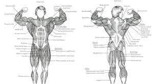 anatomy human muscles bodybuilding