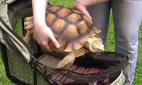 Tortoise Meme - 500 respond to jobs advert for a tortoise walker irish examiner
