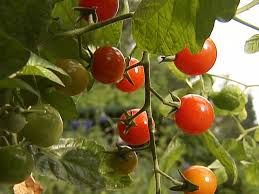 growing tomatoes from seed hgtv