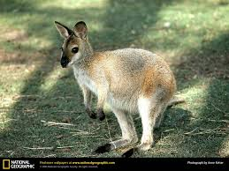 wallaby picture wallaby desktop wallpaper free wallpapers