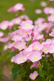 Pink Primrose Flower - pink evening primrose garden tuesday