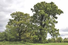 plants native to england quercus robur l plants of the world online kew science