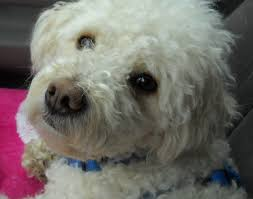bichon frise intelligence poo bichon and poodle mix puppies for sale