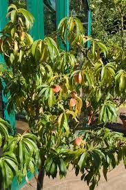 Planting Fruit Trees In Backyard 56 Best Fruit Trees Dwarf Images On Pinterest Vegetable Garden
