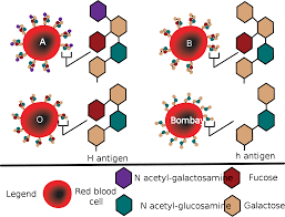 abo blood group antigen system diagram showing the molecular
