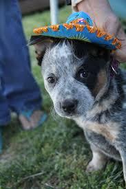 1136 best dogs images on pinterest australian cattle dog cattle