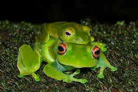 madagascan frogs at risk from killer fungus zoological society