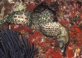 morays