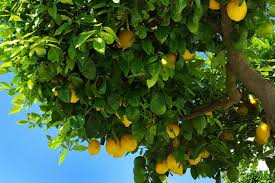 what plants can be used as a companion for a lemon tree hunker