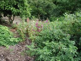 herb chinese medicinal herb garden uc botanical garden