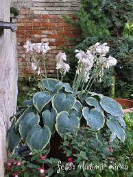 161 best hostas u0026 heucheras images on pinterest shade plants