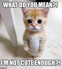 Mean Cat Memes - cute cat meme imgflip