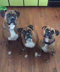 boxer dog grooming boxer dog separation anxiety