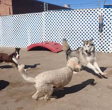 Comfortable Dog Dog U0027s Life On Damen Pet Day Care Chicago Il