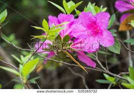 Pink Spring Flowering Shrubs - free stock photo of purple azalea flowers with pink spots