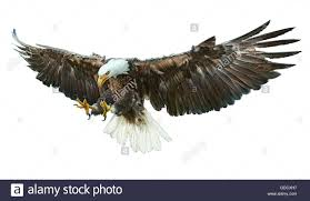 bald eagle flying cut out stock images u0026 pictures alamy