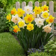 longfield gardens narcissus mix trumpets bulbs 100 pack 12000020