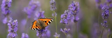 flowers for wildlife gardenorganic org uk