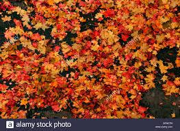 autumn scene of fallen red u0026 yellow plane tree leaves on a black