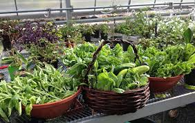 organic vegetable gardening can be healthy and rewarding hobby