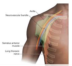 Axial Shoulder Anatomy Duke Anatomy Lab 2 Pre Lab Exercise