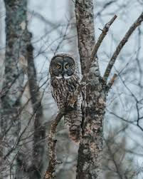 rare great gray owl in newport nh u2014 hinesight imagery