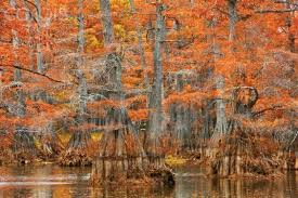 cypress trees in new orleans cypress trees in autumn colors