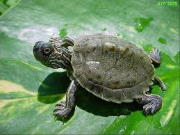 map turtle atp care sheet map turtle