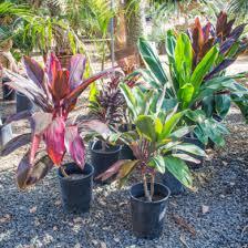 ti plant pala mesa nursery plant nursery in fallbrook ca hawaiian ti
