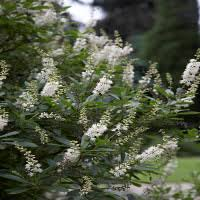 Scented Flowering Shrubs - sweetly scented shrubs zones 8 10 grow beautifully