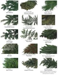 different types of trees types of evergreen trees the tree center