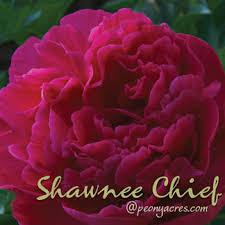 Wholesale Peonies Dark Red Wholesale Peonies May June American Peony Florist Farm