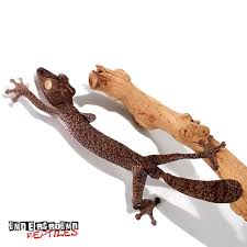 panther geckos for sale underground reptiles