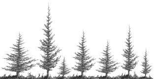 drawn tree fir tree pencil and in color drawn tree fir tree