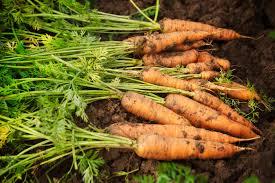 Green Root Vegetables - shade tolerant vegetables for the garden