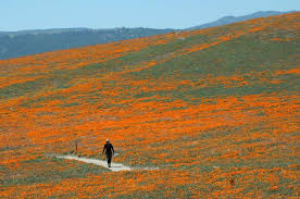 California Poppy Winter Rains Could Lead To Spectacular Floral Display At