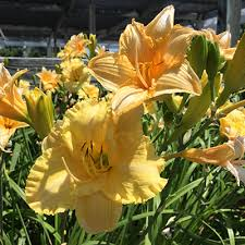 reblooming daylilies reblooming daylilies faddegon s nursery inc