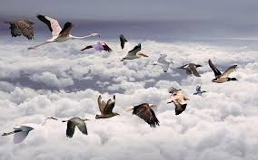 love birds migration above clouds favourite wide wallpapers