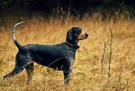 bluetick coonhound rabbit hunting here are the 10 best hunting dog breeds