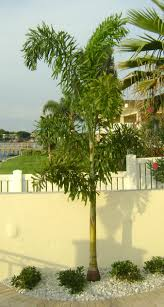 outdoor u0026 garden unique robellini palm tree for home landscaping