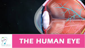 The Anatomy And Physiology Of The Eye The Human Eye Youtube