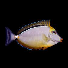 blonde naso tang elegant unicornfish naso elegans also indian