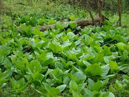 native ontario plants native plant eastern skunk cabbage