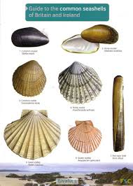 guide to the common seashells of britain and ireland field