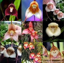 5 kinds cute monkey face orchid seeds monkey orchid bonsai plants