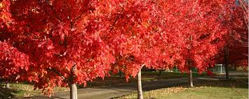 maple grove nursery deciduous tree specialists