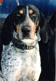 bluetick coonhound nh ohmidog official archives ohmidog