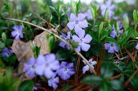 file macro little blue flowers spring jpg wikimedia commons